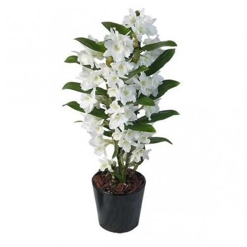 orhideie-dendrobium