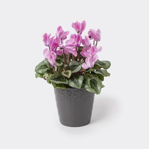 cyclamen-roz
